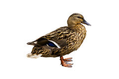 Canard Image libre de droits