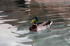 Canard Photos stock