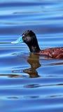 Canard affiché bleu Photos libres de droits