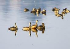 Canard affiché par endroit Image libre de droits