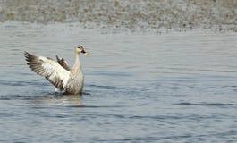 Canard affiché par endroit Photo stock