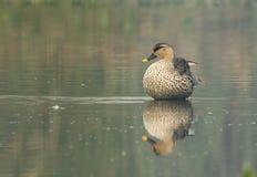 Canard affiché par tache (Anas Poecilorhyncha) Image stock