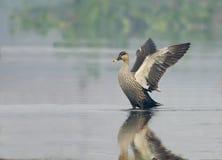 Canard affiché par tache (Anas Poecilorhyncha) Photographie stock libre de droits