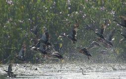 Canard affiché par tache indienne photographie stock