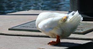 Canard américain blanc de pekin banque de vidéos