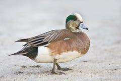 Canard américain de canard siffleur - mâle Image stock