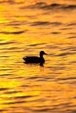 Canard au coucher du soleil Photo stock