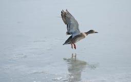 Canard au-dessus de lac images libres de droits