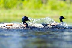 Canard au lac Images stock