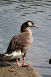 Canard au lac Photographie stock
