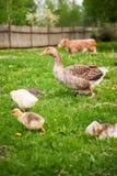 Canard avec des canetons et une vache Photo libre de droits