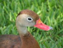 Canard avec le bec cassé Photo libre de droits