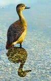 Canard avec le bel éclairage photo stock