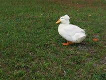 Canard avec le chapeau Photographie stock