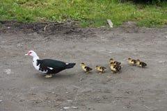 Canard avec sept canetons Photographie stock