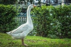 Canard blanc Photos stock