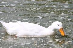 Canard blanc Photographie stock libre de droits