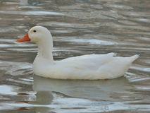 Canard blanc Photographie stock