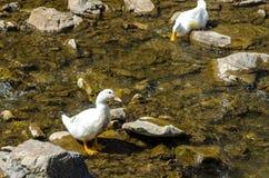 Canard blanc Photo libre de droits