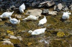 Canard blanc Photos libres de droits