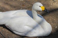 Canard blanc au sol photo stock