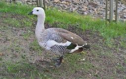 Canard blanc au zoo images stock