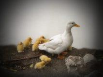 Canard blanc avec des canetons image libre de droits