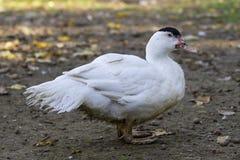 Canard blanc d'élevage Images stock