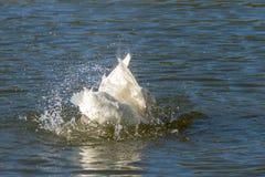 Canard blanc d'Aylesbury également connu sous le nom de Pekin ou plumes de canard du Long Island et eau lissantes d'éclaboussem image stock