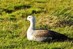 Canard blanc et gris image libre de droits
