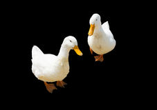 Canard blanc jumeau Photographie stock libre de droits