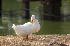 Canard blanc lissant à côté d'un étang ou d'un lac Image stock
