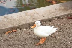 Canard blanc sur le rivage Images stock