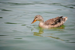 Canard chiné sur le lac Brookville Photo stock