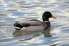 Canard col vert. Un canard col vert. A green head duck stock photos