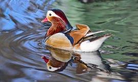 Canard coloré photographie stock