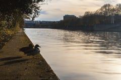 Canard contemplant la Seine Photographie stock libre de droits