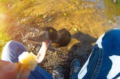 Canard courageux mangeant des mains sur le lac Photos stock