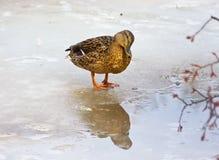 Canard déconcertant photo libre de droits