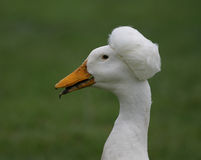 Canard d'Afro image stock
