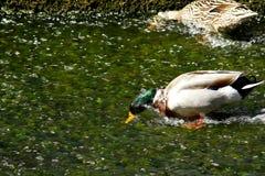 Canard d'Apnea Photographie stock libre de droits
