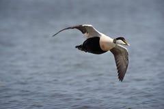 Canard d'eider à duvet en vol Photographie stock libre de droits