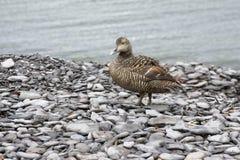 Canard d'Eider Photos libres de droits