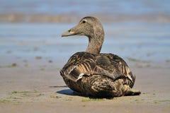 Canard d'Eider femelle se reposant sur la plage image stock