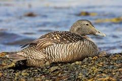 Canard d'Eider sur la plage Photo stock