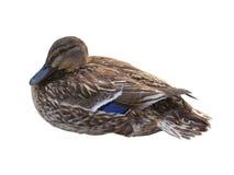 Canard - d'isolement sur le blanc Photographie stock