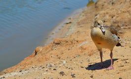 Canard d'oiseau Photos stock