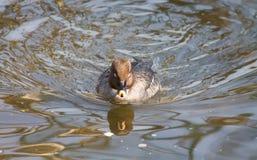Canard d'oiseau Image stock