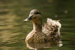 Canard dans l'étang Images stock