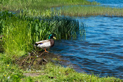 Canard dans l'étang Image stock